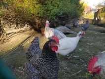 土耳其鸡孔雀农厂鸟 库存图片