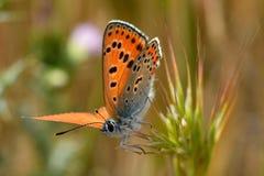 土耳其firey铜蝴蝶(Lycaena ochimus) 免版税库存图片