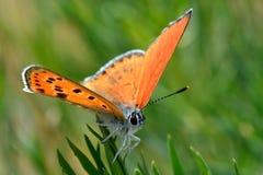 土耳其firey铜蝴蝶(Lycaena ochimus) 库存照片