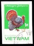 土耳其Meleagris gallopovo,系列鸡品种,大约1985年 免版税库存照片