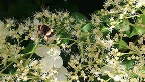 土蜂上升的花 影视素材