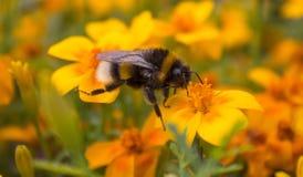土蜂从一朵黄色花收集花蜜 在花的土蜂 小的昆虫 免版税库存图片