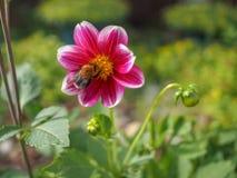 土蜂从在早晨太阳的光芒的一朵桃红色牡丹花收集花蜜 免版税库存照片