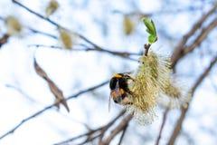 土蜂从花收集花蜜 免版税库存图片