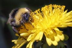 土蜂从黄色花收集花粉 免版税库存图片