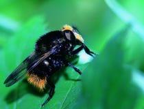 土蜂休息 库存照片