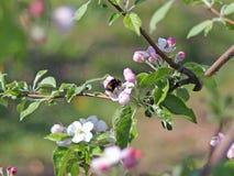 土蜂会集从苹果开花的花蜜 开花的苹果种植园 现代联盟一个年轻果树园在春天晴朗的af的 库存图片