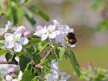 土蜂会集从苹果开花的花蜜 开花的苹果种植园 现代联盟一个年轻果树园在春天晴朗的af的 免版税库存图片