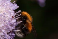 土蜂会集从knautia花的花蜜 在野生生物的动物 库存图片