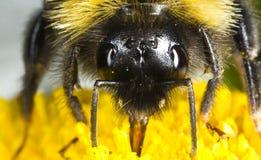 土蜂吃 免版税库存照片