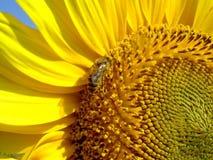 土蜂向日葵访问了 免版税库存图片