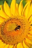 土蜂和向日葵 库存图片
