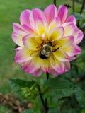 土蜂和大丽花 库存图片