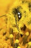 土蜂和花粉尘土 免版税库存照片