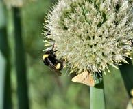 土蜂和蝴蝶从开花的葱收集花蜜 库存图片
