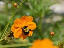土蜂哺养在橙色花的,特写镜头细节 免版税图库摄影