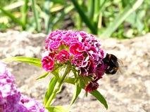 土蜂喝从花的花蜜 免版税库存图片