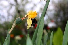 土蜂在一好日子寻找 免版税库存照片