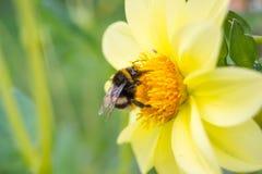 土蜂在夏天授粉一个黄色花大丽花庭院 免版税库存图片