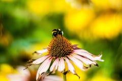 土蜂在工作(熊蜂) 免版税图库摄影