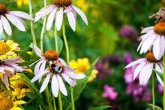 土蜂在工作(熊蜂) 免版税库存照片
