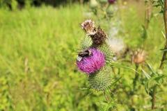 土蜂在工作 免版税库存照片