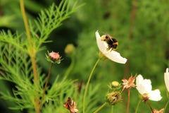 土蜂在庭院里 库存照片