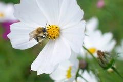 土蜂在春天草甸采取在花的新鲜的花蜜 库存照片