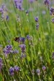 土蜂在淡紫色的夏令时 库存照片