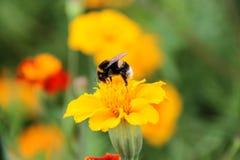 土蜂在tagetes花的饮料花蜜 图库摄影