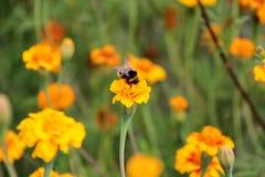 土蜂在tagetes花的饮料花蜜 免版税库存图片