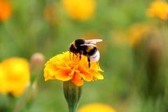 土蜂在tagetes花的饮料花蜜 免版税库存照片