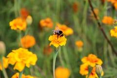 土蜂在tagetes花的饮料花蜜 库存照片