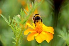 土蜂在tagetes花的饮料花蜜 免版税图库摄影
