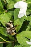 土蜂坐一只绿色叶子野花、蜂蜜昆虫和白花,野生生物背景 库存图片