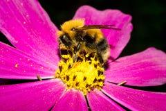 土蜂坐与明亮的紫色瓣的一朵花,并且有黄色花粉 宏指令 免版税库存照片