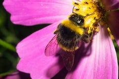 土蜂坐与浅粉红色的瓣的一朵花,并且有黄色花粉 宏指令 库存照片