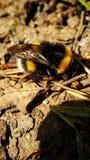 土蜂坐在去年的叶子特写镜头背景的地面  免版税库存照片