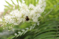 土蜂坐开花的柠檬香茅 库存照片