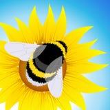 土蜂坐的向日葵 免版税图库摄影