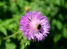 土蜂坐矢车菊粗砺的矢车菊scabiosa L的花 免版税库存图片