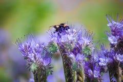 土蜂坐花和收集花蜜 库存图片