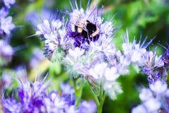 土蜂坐花和收集花蜜 图库摄影