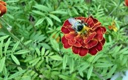 土蜂坐花并且收集花蜜 免版税库存图片
