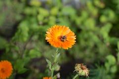 土蜂坐花金盏草 免版税图库摄影
