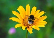 土蜂坐花金鸡菊 免版税库存照片