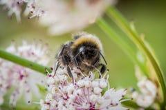 土蜂坐花 免版税库存照片