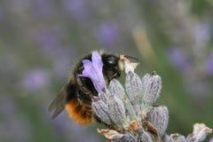 土蜂宏指令在花的 免版税库存图片