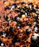 土蜂工作 库存图片