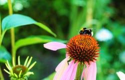 土蜂成功和紫色Coneflower 库存图片